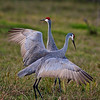 Sand Hill Cranes November 2009 : A pair of Sand Hill cranes came to a field near my home to feed during the day and I took advantage of the opportunity to get these photos. I find them to be particularly stately birds. They shared the field with two or three cows, generally getting along well with one another.